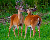 Bucks in Velvet Buffalo County